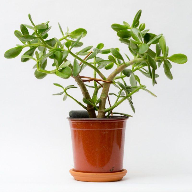Gardening 101: Jade Plant - Gardenista
