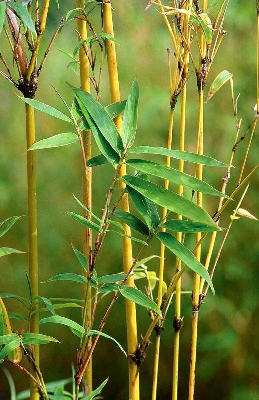 Golden Goddess Bamboo - Monrovia - Golden Goddess Bamboo