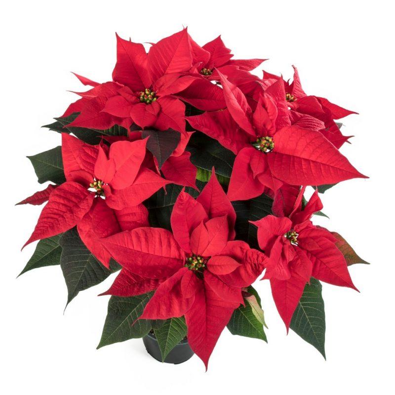 Hera™ Red | Syngenta Flowers