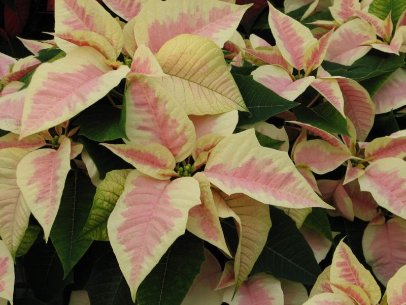 Holiday Poinsettia Care….. | Can You Dig It?