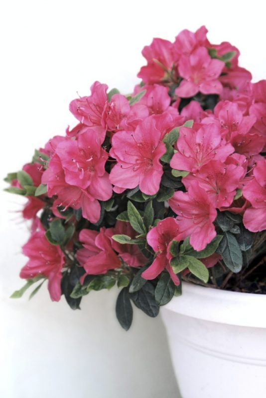 How To Care For Azalea In Planters - Guide To Growing Azaleas In Containers