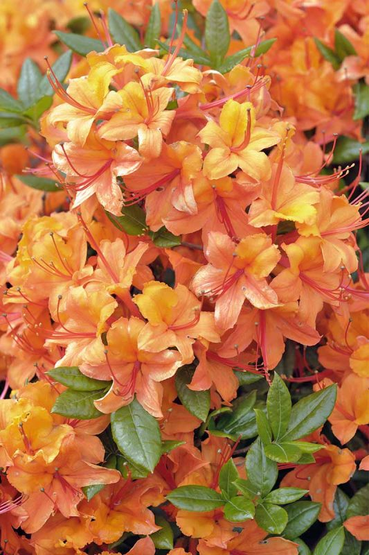 How to Grow and Propagate Azalea and Rhododendron | Gardener's Path