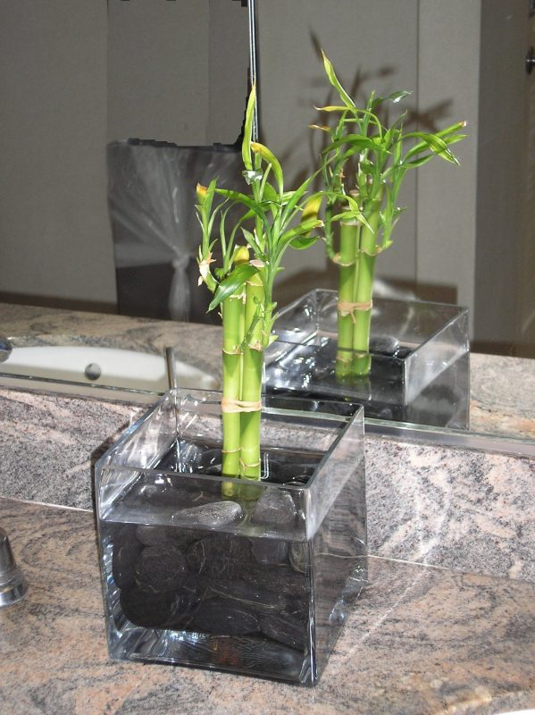 Indoor Bamboo Plant | Bamboo Plants HQ