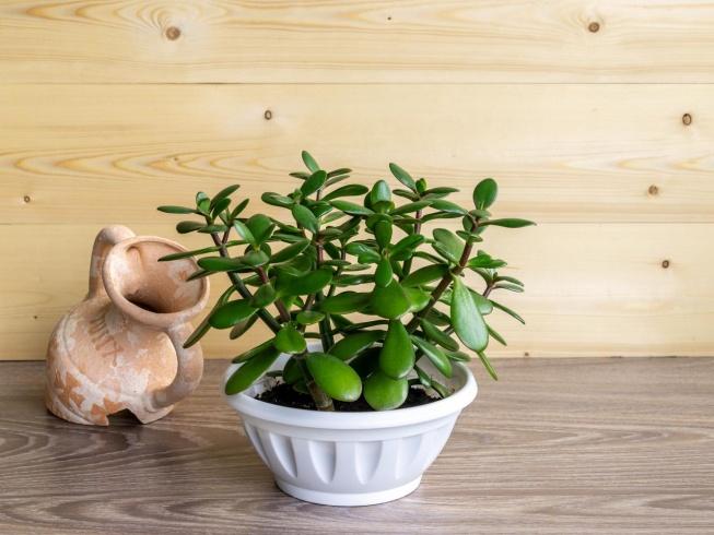 Jade Plant Care and Maintenance | HGTV