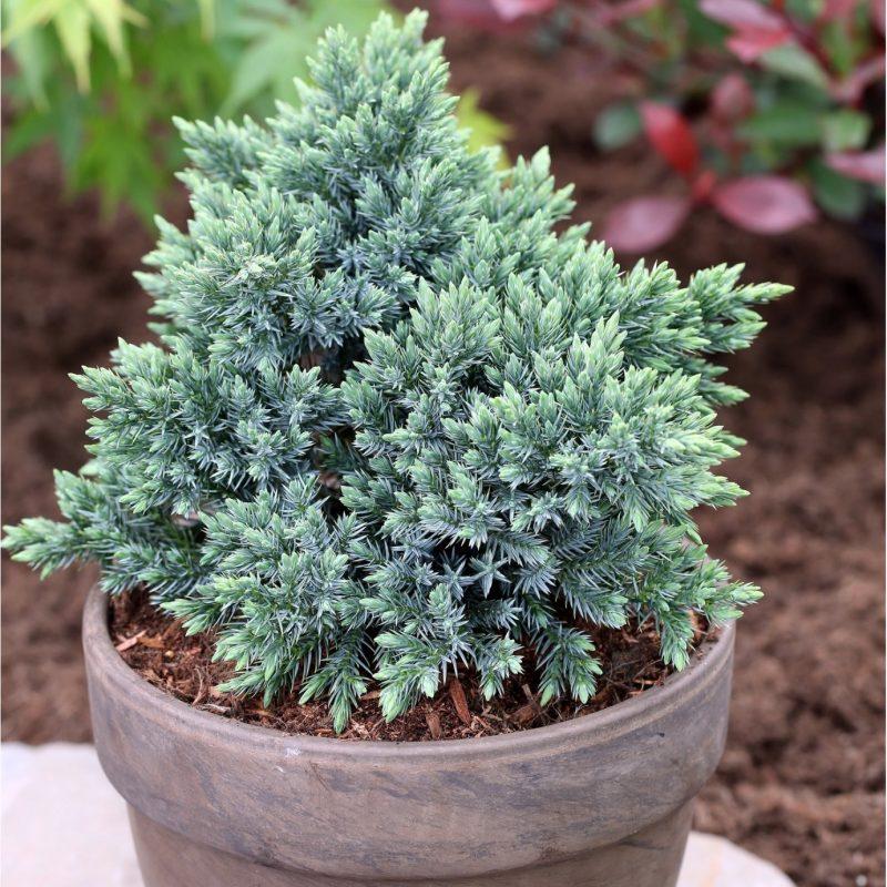 "Kadagys žvynuotasis ""Blue Star"" C5 | Junipers | Conifers | Eshop"