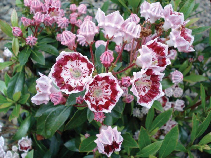 Kalmia latifolia 'Minuet' | Laurel plant, Kalmia latifolia, Mountain laurel
