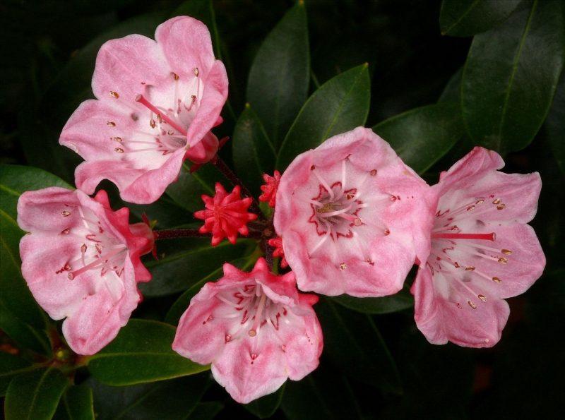 Kalmia latifolia 'Tinkerbell' #1 | Kalmia latifolia, Plants, Flowers