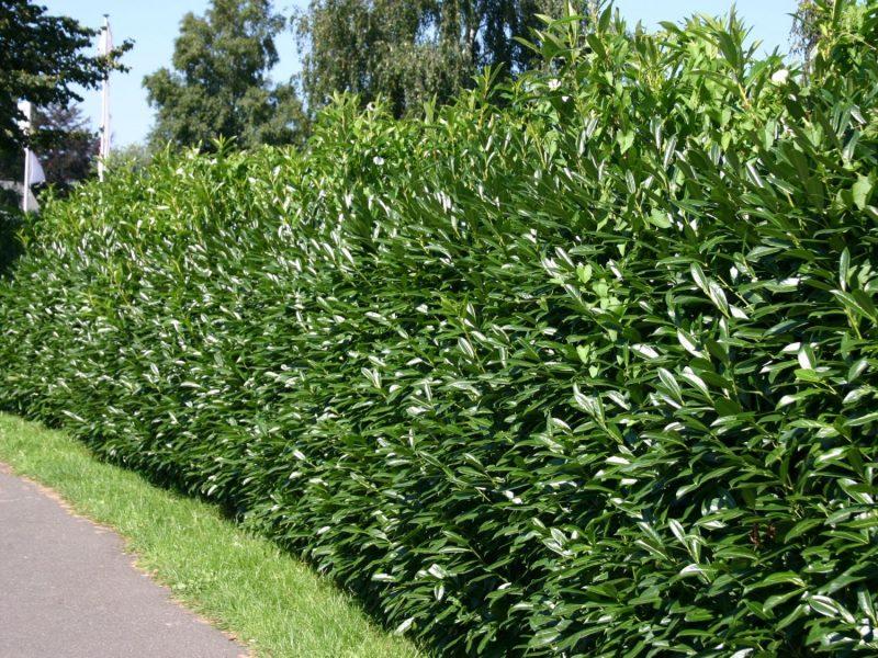 Kirschlorbeer / Lorbeerkirsche 'Caucasica' - Prunus laurocerasus 'Caucasica'  - Baumschule Horstmann