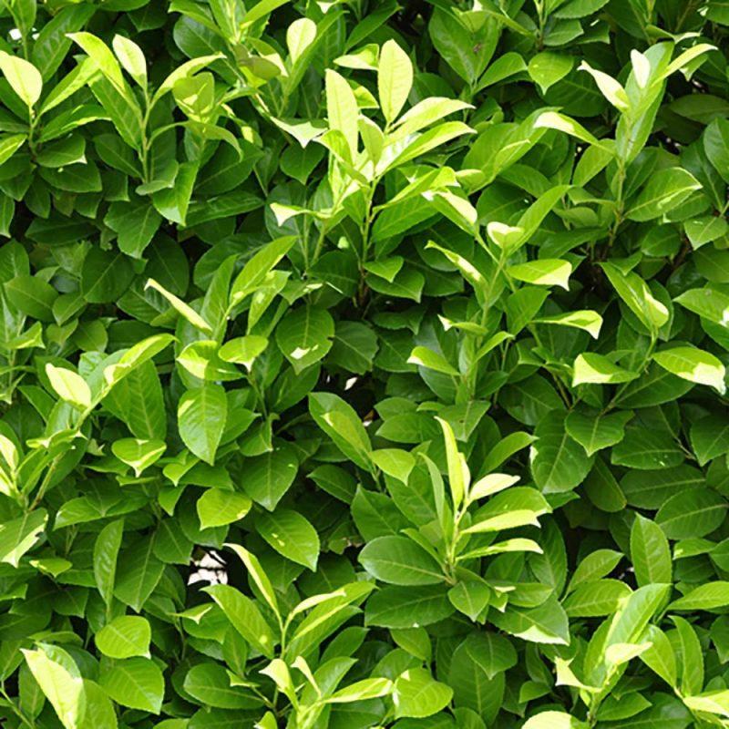 Laurel Hedging (Prunus laurocerasus) 9cm Pot: Amazon.co.uk: Garden & Outdoors