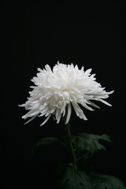 Lone Star | Small natural garden ideas, Lone star, Chrysanthemum