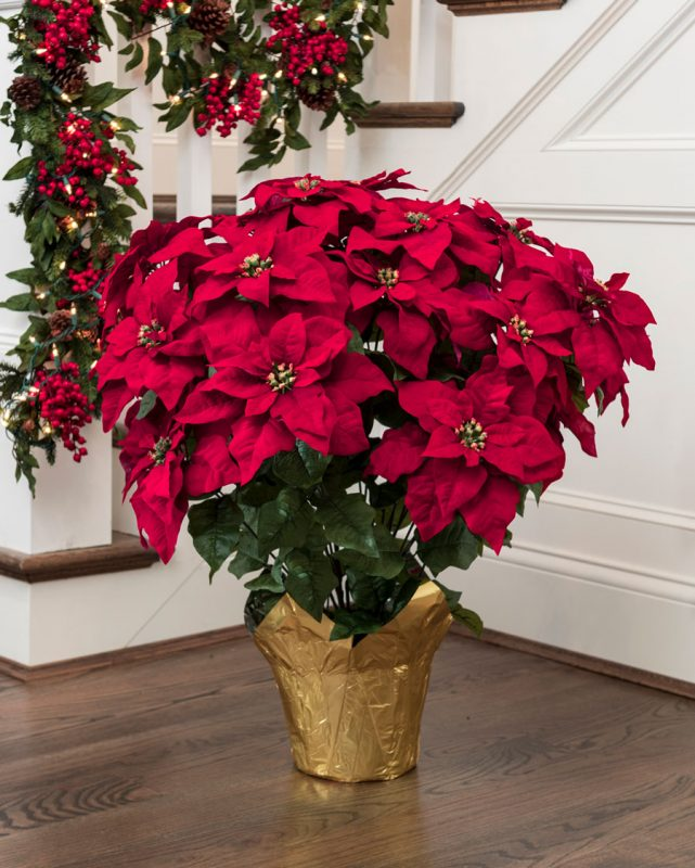 Poinsettia Plant Care Instructions with List of Types & Pictures