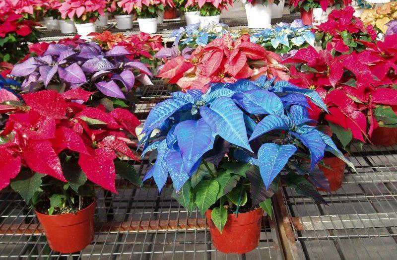 pointsetta - Bing Images   Búho de ganchillo, Boda azul, Nochebuena