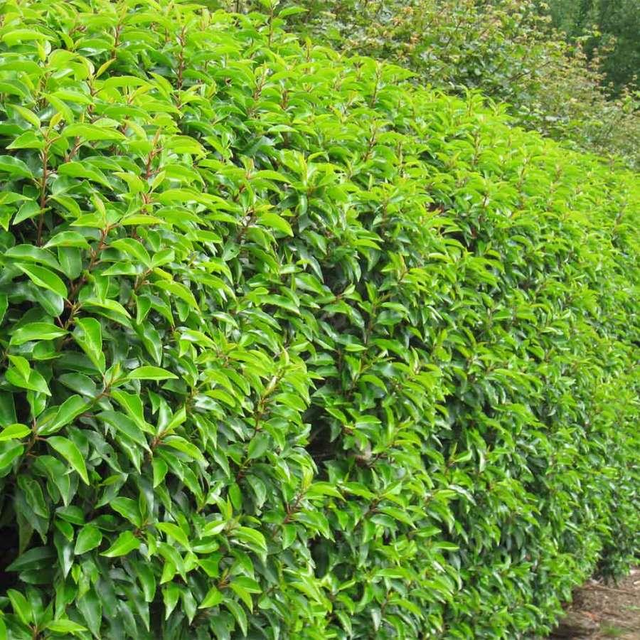 Portuguese Laurel Hedge | Prunus lusitanica | Hedges Direct