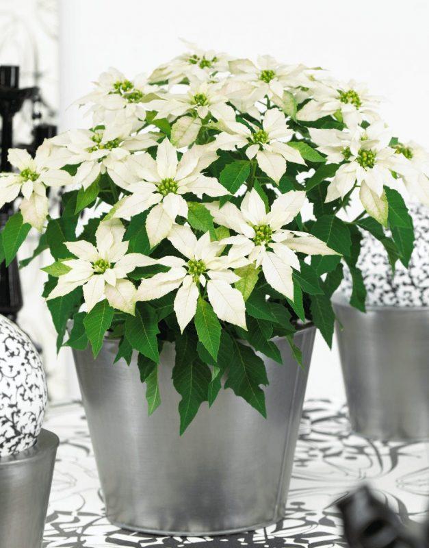 Princettia Max White | Compact, pink & white Euphorbia (Poinsettia) 2.0