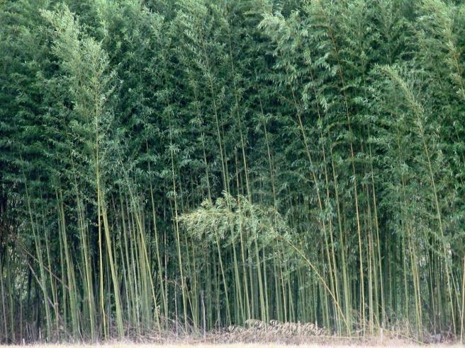 River Cane Plant | Plants, Hummingbird plants, Bamboo plants