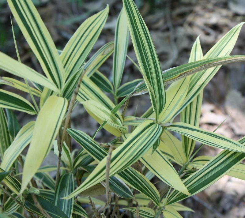 Sasaella masamuneana 'Albostriata'   Follaje, Plantas, Clorofila
