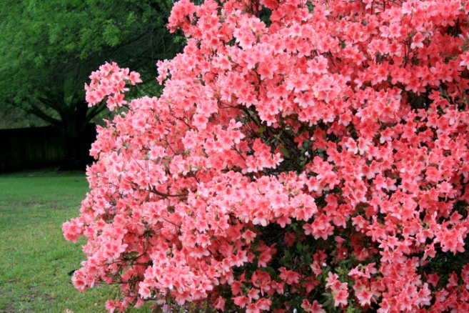 Southern Indica azaleas give good performance | Mississippi State University Extension Service
