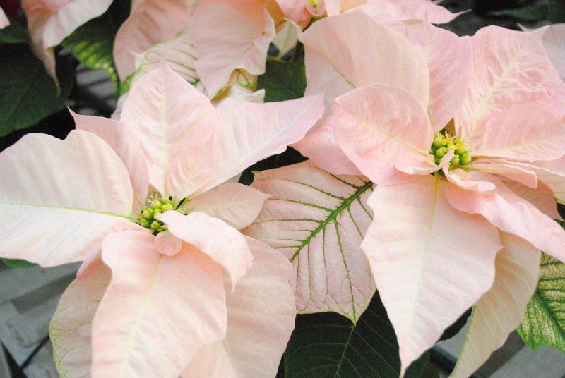 Visions of Grandeur Poinsettias – westwood gardens blog