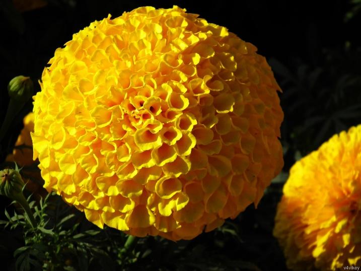 Yellow Pompon Chrysanthemum | Wallpaper Tadka