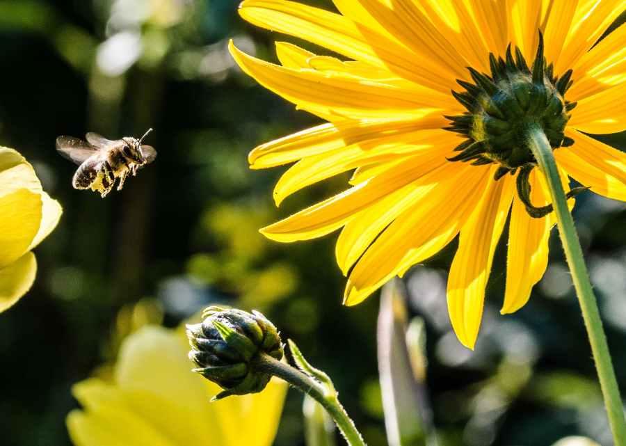 Bunga Kelopak Kuning Dengan Lebah Kuning Hitam Selama Fotografi Fokus Siang Hari