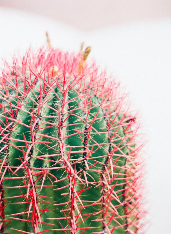 cactus with pink spines