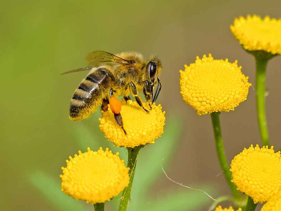 Lebah Coklat Dan Hitam Pada Nektar Bunga Kuning