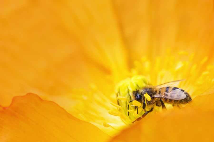 Fotografi Close Up Bumblebee Mengumpulkan Serbuk Sari