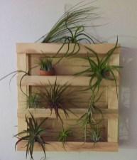 Amazing Air Plants Decor Ideas 12