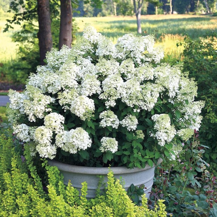 Elegant Colorful Bobo Hydrangea Garden Landscaping Ideas01