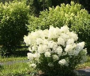 Elegant Colorful Bobo Hydrangea Garden Landscaping Ideas05