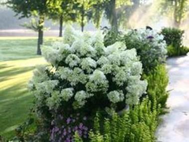 Elegant Colorful Bobo Hydrangea Garden Landscaping Ideas06