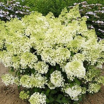 Elegant Colorful Bobo Hydrangea Garden Landscaping Ideas10