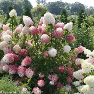 Elegant Colorful Bobo Hydrangea Garden Landscaping Ideas11