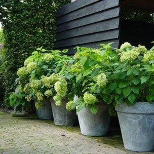 Elegant Colorful Bobo Hydrangea Garden Landscaping Ideas14