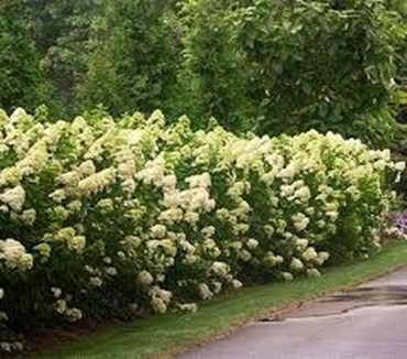 Elegant Colorful Bobo Hydrangea Garden Landscaping Ideas23