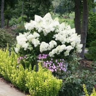 Elegant Colorful Bobo Hydrangea Garden Landscaping Ideas30