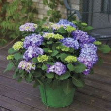 Elegant Colorful Bobo Hydrangea Garden Landscaping Ideas36