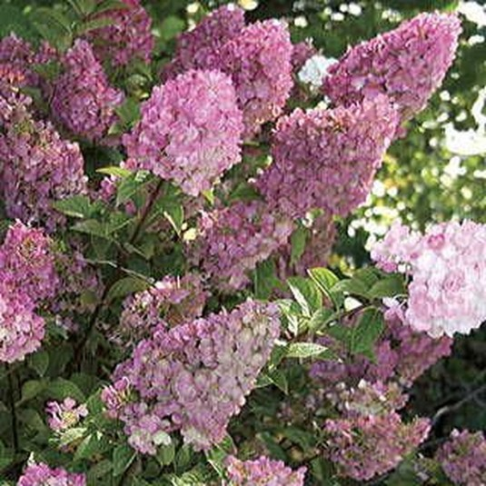 Elegant Colorful Bobo Hydrangea Garden Landscaping Ideas38