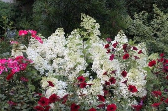 Elegant Colorful Bobo Hydrangea Garden Landscaping Ideas39