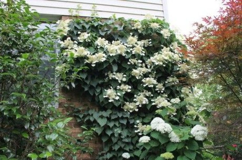 Beautiful Evergreen Vines Ideas For Your Home14