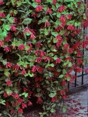 Beautiful Evergreen Vines Ideas For Your Home26