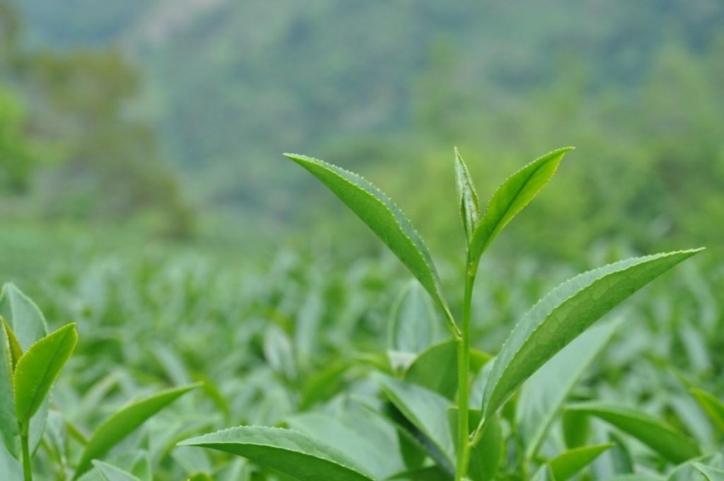 茶園裡的茶樹和新鮮翠綠色茶葉