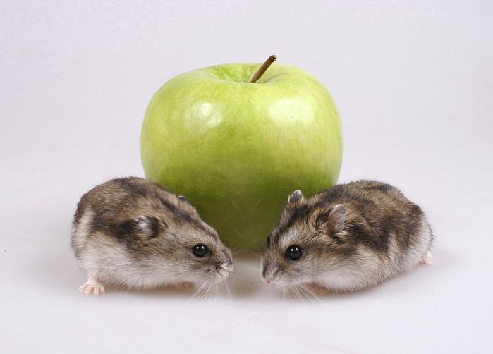 Можно ли давать хомяку яблоко