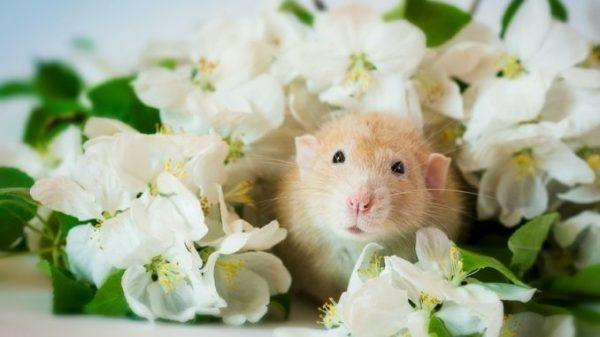Домашняя декоративная крыса: уход и содержание в домашних ...