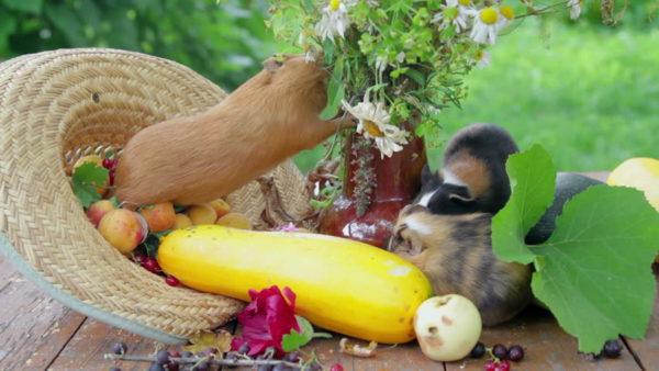 Marsvin äter grönsaker
