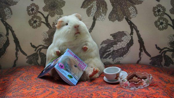 Guinea gris läser en bok för en kopp te