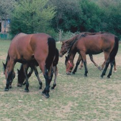 Konji-horde_0006