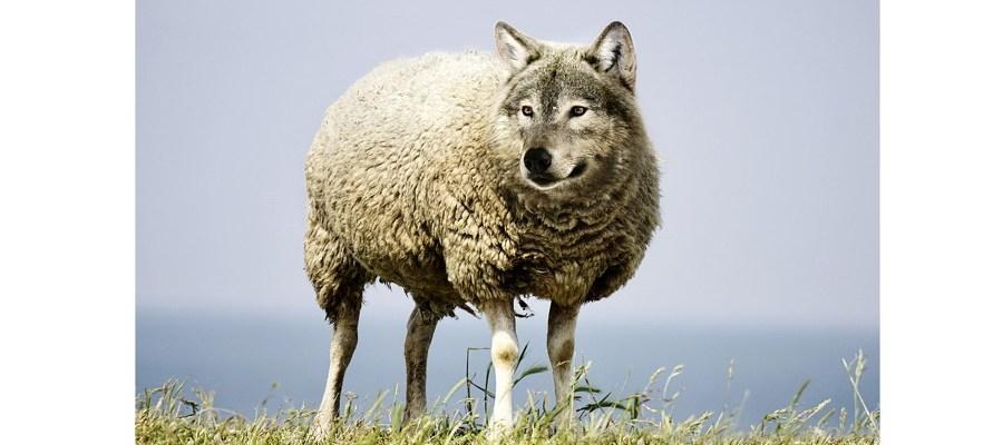 wolf-schaf-homoeopathie