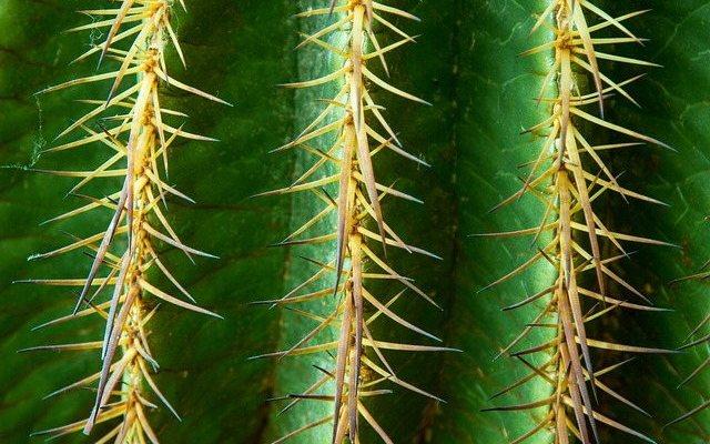 kaktus-homoeopathie