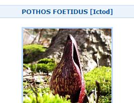 Pothos Foetidus